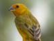 aves de rifaina